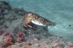 Sepia of ook wel zeekat genoemd