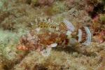 Rode Schorpioenvis