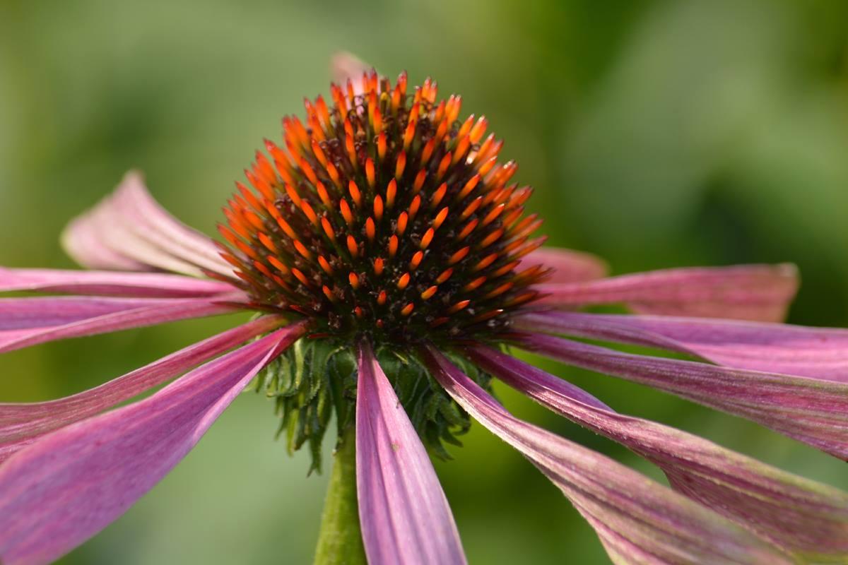 Hart bloem