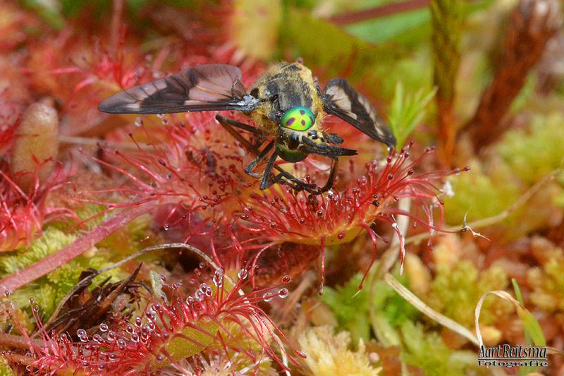 Insekt gevangen door de ronde zonnedauw