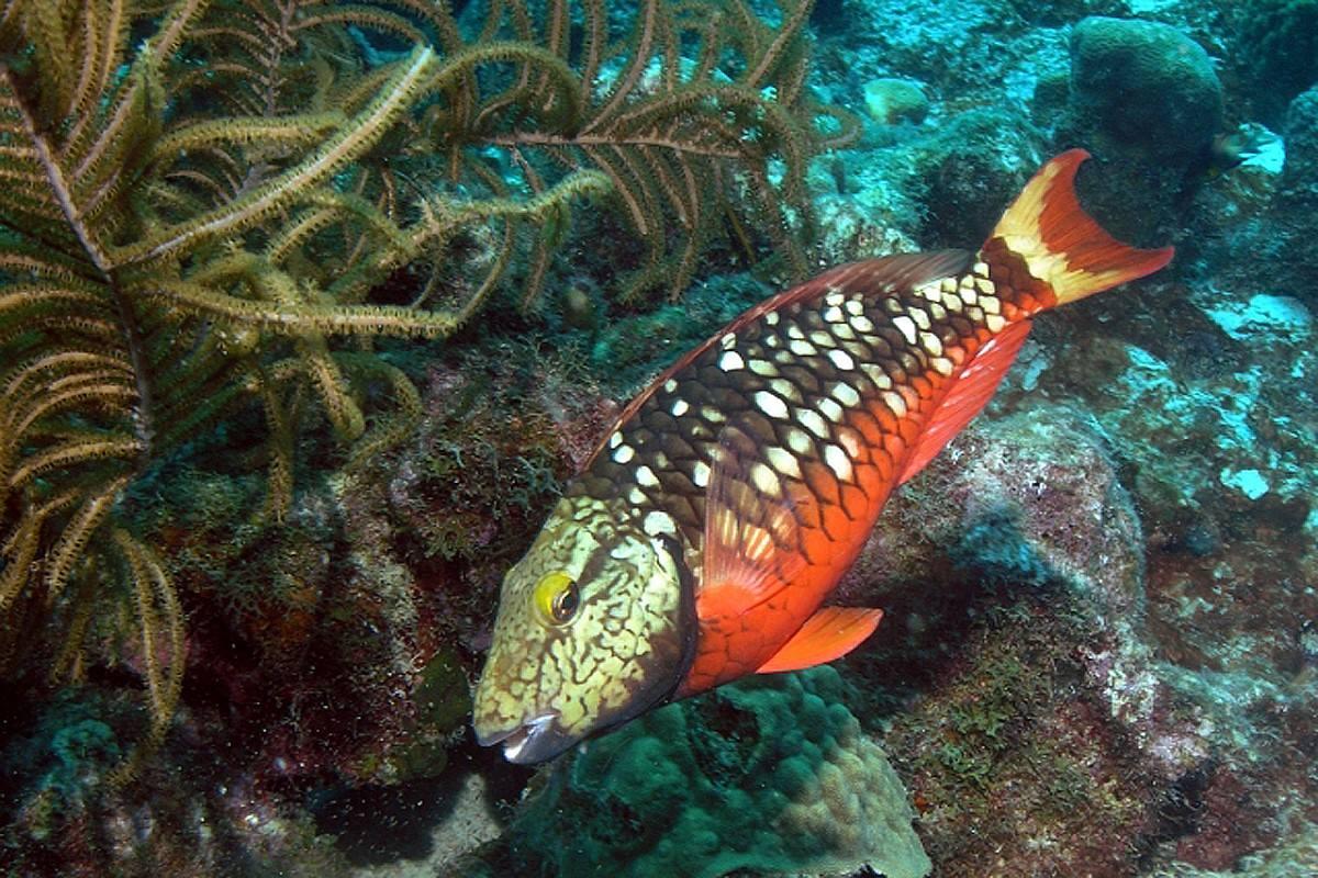 Papegaaivis Bonaire