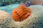 Christmas tree worm Bonaire