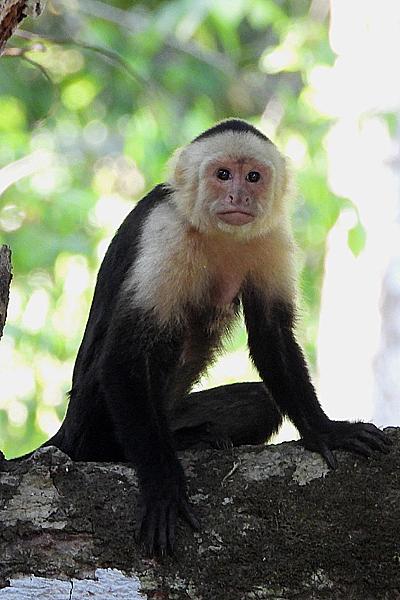 Kapucijner aap