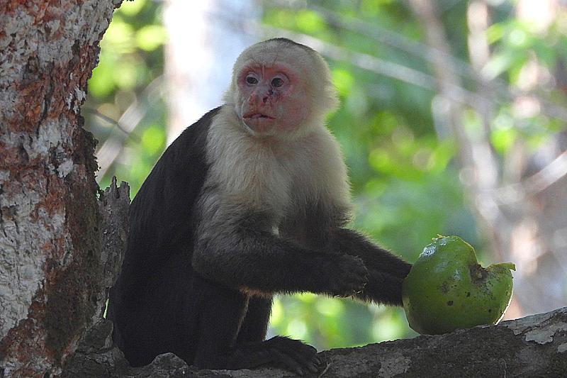 Kapucijner aap etend