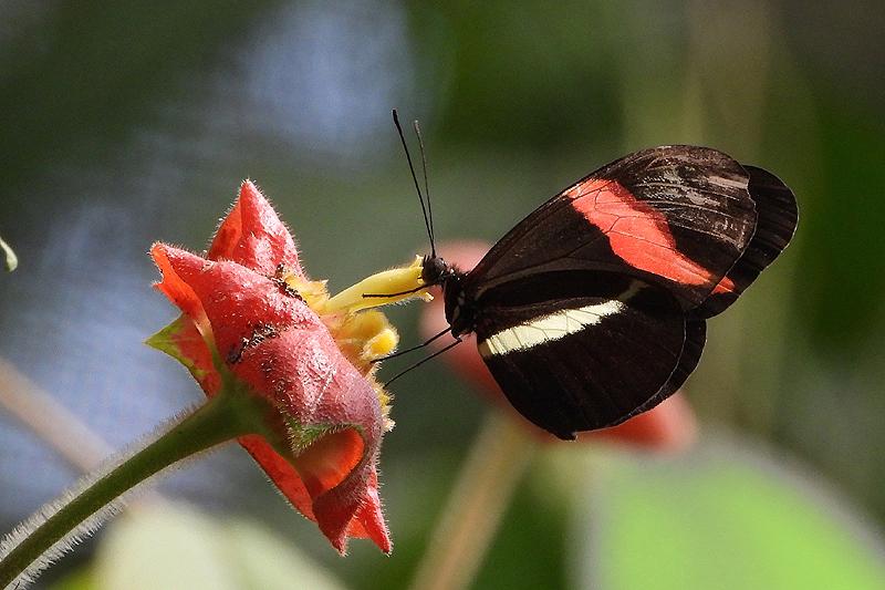 Vlinder Costa-Rica