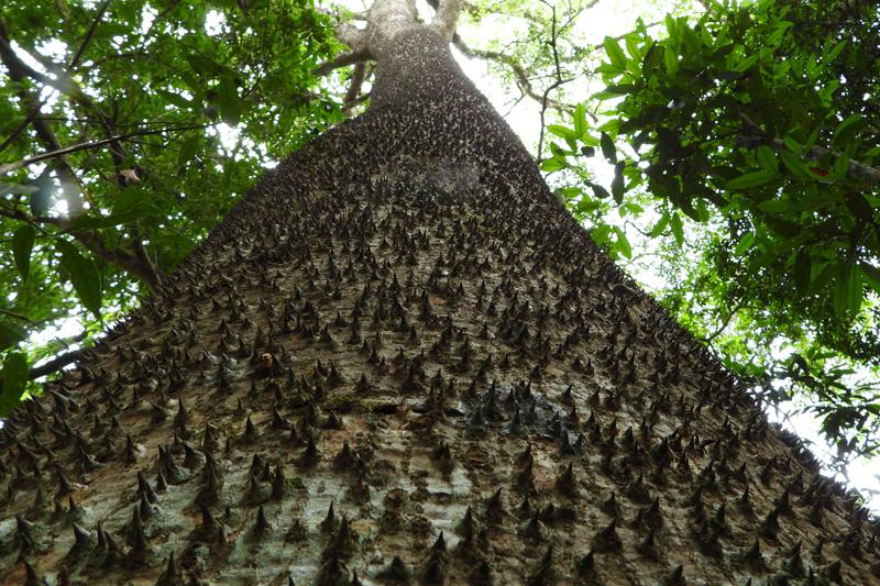 Giftige boom, oppassen voor de stekels