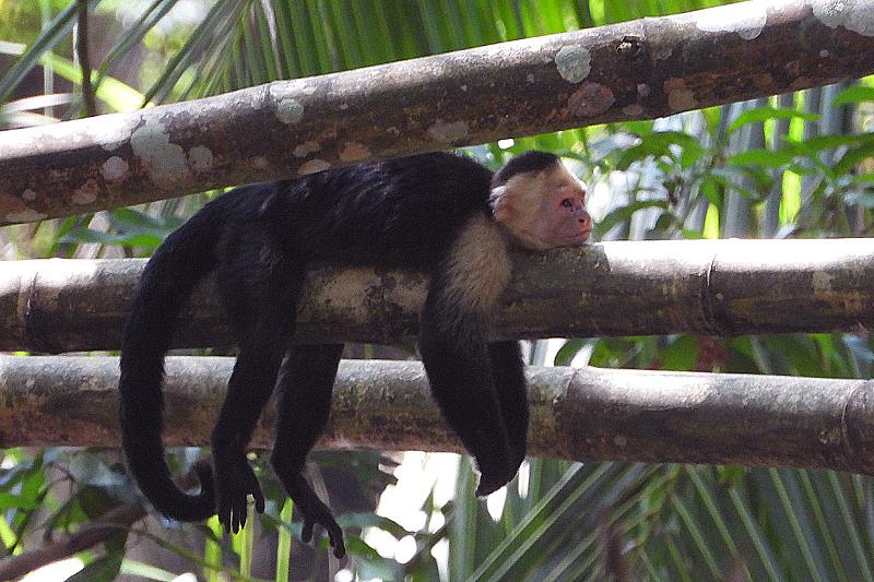 Kapucijner aap Luierend