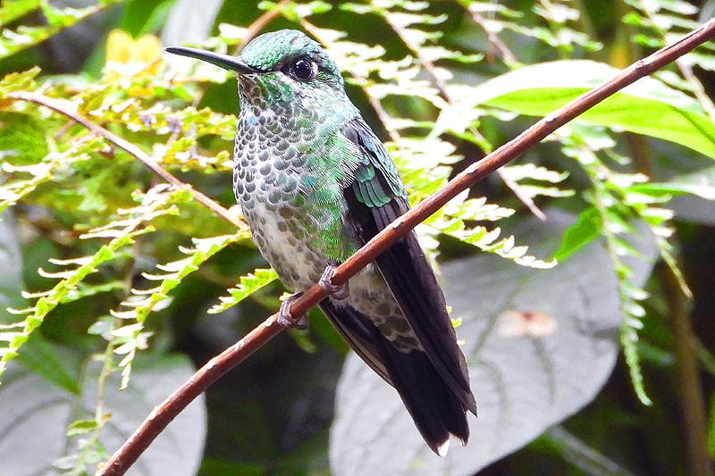 Groenkruinbriljant kolibrie