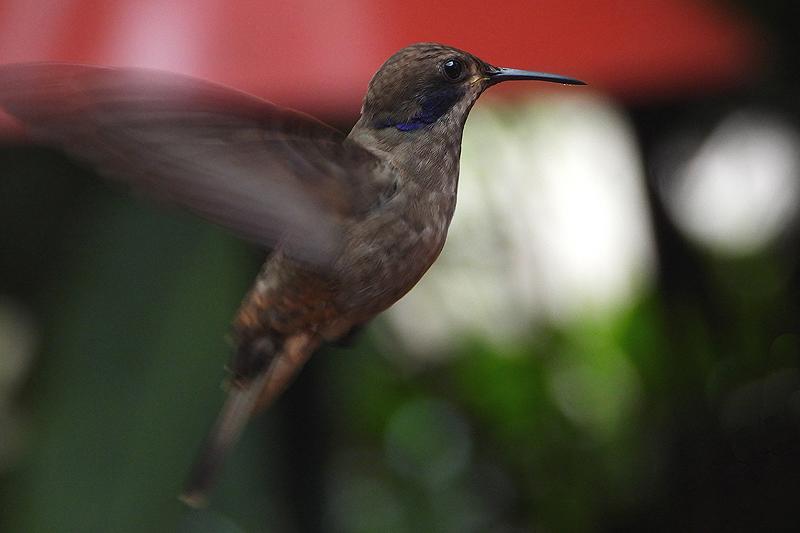 Bruine Violetoor kolibrie