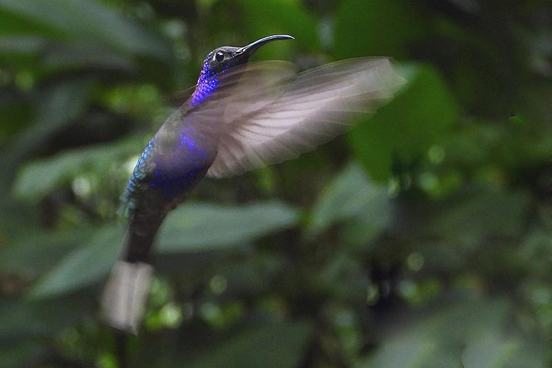 Violette Sabelvleugel