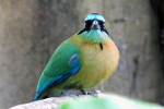 Close-up Lesson's Motmot