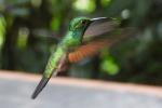 Streepstaart kolibrie