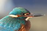 Close-up IJsvogel Winter februari 2021 voor mijn deur op de Scheendijk