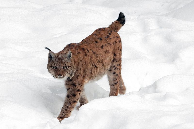 Mannetje Lynx houd me in de gaten 2019
