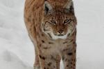Lynx heeft me in de gaten, dat met een 3000 mm lens 2019