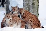 De lynxs met haar twee jongen 2019