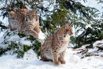 Twee jonge Lynxen 2018