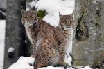 Jonge Lynxsen tijdens sneeuwbui 2018