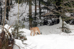 Grote Lynx in het woud 2019