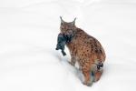 Lynx met konijntje in haar bek 2019