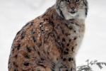Lynxs tijdens sneeuwbui 2018