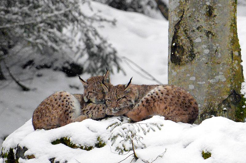 Jonge Lynxen aan het relaxen
