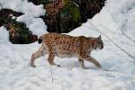Moeder Lynx