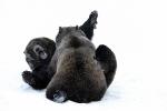 Bruine beren aan het stoeien
