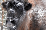 Close-up wisent of europese bizon