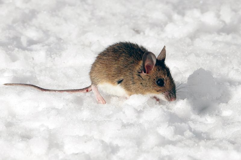 Wel opvallend deze bosmuis in de sneeuw