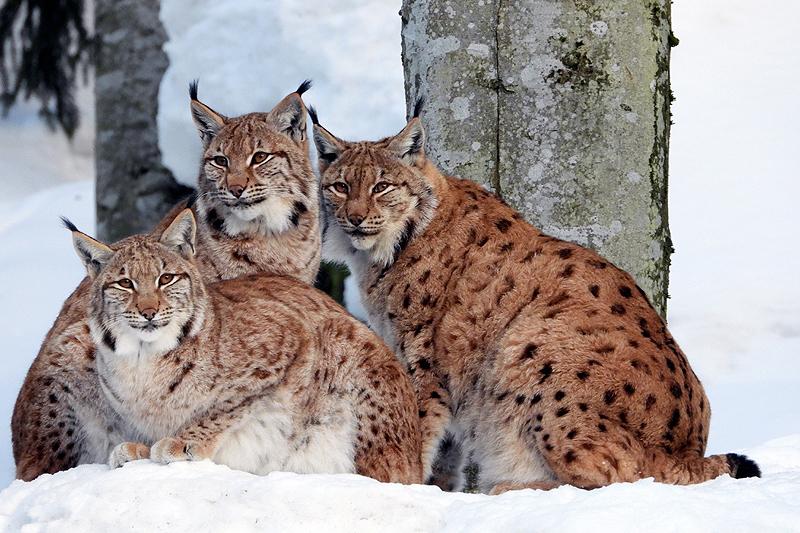 Moeder Lynx met haar twee jongen