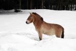 Przewalski paard