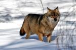 Goed gevoede wolf