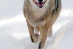 Alsof deze wolf recht mijn lens in komt lopen