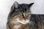 Close-up Europese wilde kat