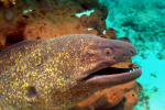 Close-up roodkop murene