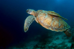 Mooi schildpad met remora op rug