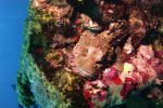 Schorpioenvis verscholen op wrak