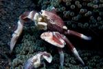 Paartje fluweel krabben