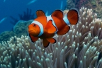 Close-up Nemo