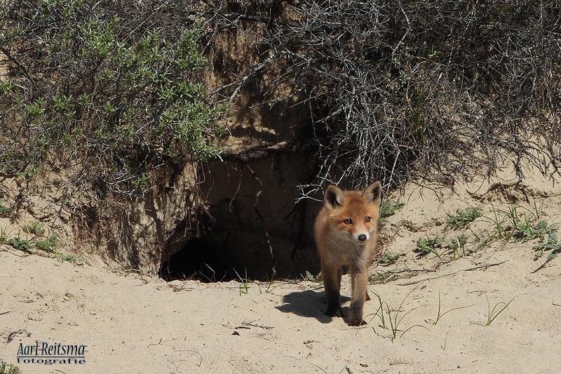 Jonge vosjes,  nu nog 2 stuks 9 mei-2019