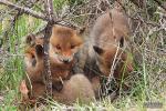 Vier stoeiende vosjes