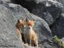Jonge vosjes op de zeedijk
