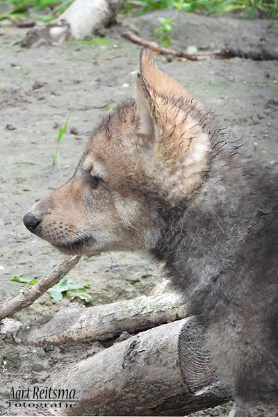 Close-up jong wolfje na regenbui, 2 juli 2020