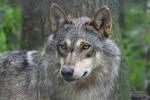 Moeder wolf houd ons goed in de gaten, 2 juli 2020