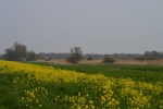 Koolzaad in de polder bij Kockengen