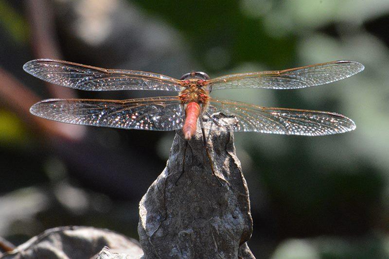 Rode  libelle van achter gefotografeerd