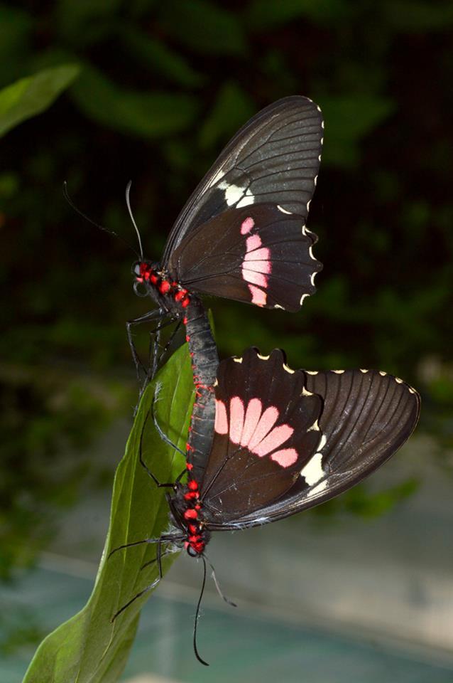 Vlinder Bali