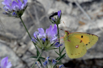Citroenvlinder Cyprus