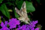 Mot op vlinderstruik